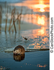 Muskrat on an ice edge. - Muskrat (Ondatra Zibethica) on an...