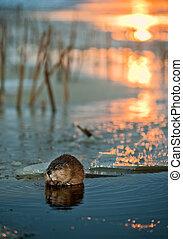 Muskrat on an ice edge. - Muskrat (Ondatra Zibethica) on an...