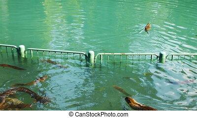 Muskrat swimming in Jordan River, Israel - Muskrat or...