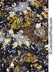 Mussels and barnacles at low tide on sea floor in Pacific...