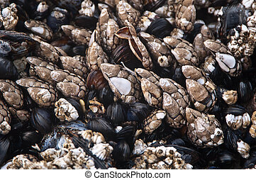 Mussels and Gooseeck Barnacles - Clusters of mussles and...