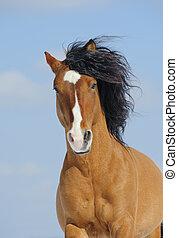 mustang, pferd