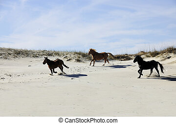 Mustangs Running among Sand Dunes - Three wild mustangs of...