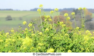 Mustard field in Germany