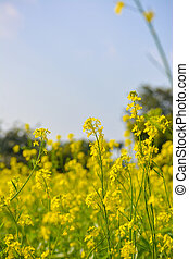Mustard field with Beautiful blue sky