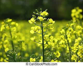 Mustard flower - Close-up of yellow mustard flower on a...