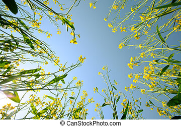 Mustard flower closeup against blue sky from ground up.