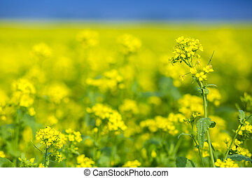 Mustard flower field is full blooming.
