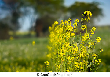 Field of Mustard and Blue Sky in the Spring