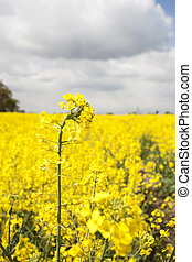 mustard crops against a nice cloudy sky