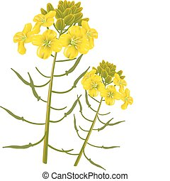 Mustard flower on a white background. Vector illustration.
