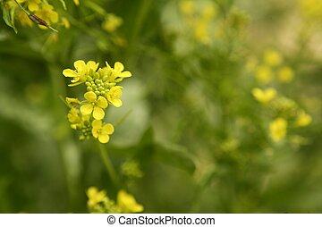 Mustard flower Sinapis Aiba yellow flowers and plant, nature