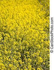 Mustard Flowers, Napa Valley