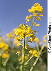 Mustard flowers on a sunny day