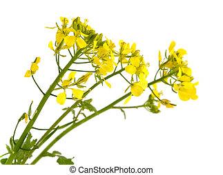 Mustard flowers.