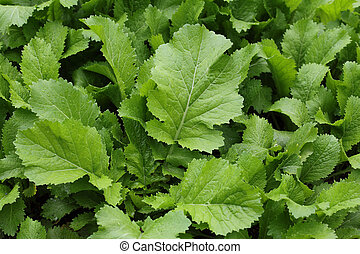 Mustard Greens - Homegrown mustard green ( brassica juncea) ...