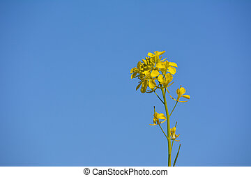 Mustard plant and yellow flowers with blue sky background