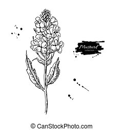 Mustard plant branch vector drawing. Botanical flower illustrati