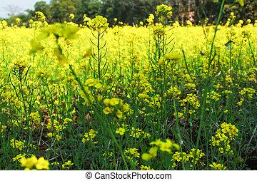 mustard plant in a field