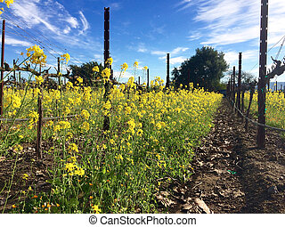 Mustard plants provide cover for grape vines