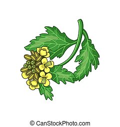 Mustard spice vector realistic colored botanical illustration