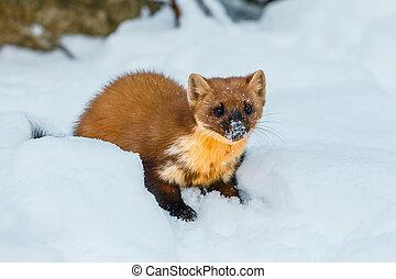 mustela, sittande, snö, singel, vessla, fält, nivalis
