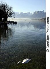 Mut swann on lake annecy landscape - Mut swann on lake...