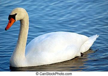 Mute Swan - A swan in a pond.