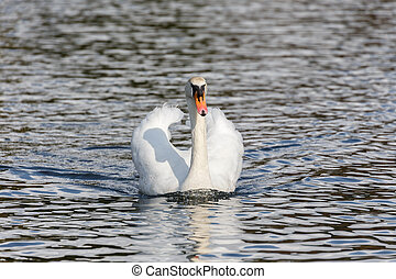 Mute swan at Ambleside Park, Vancouver BC Canada