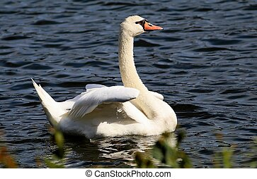 Mute Swan At Lake Junaluska North Carolina - A mute swan...