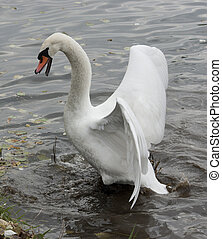 Mute Swan attacks. - Mute Swan attacking the enemy.