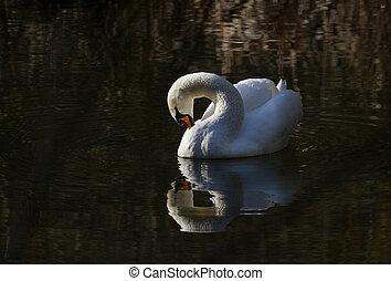 Mute Swan close up shot