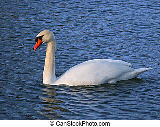 A bright Mute Swan (Cygnus olor) at Kickapoo State Park in Illinois.