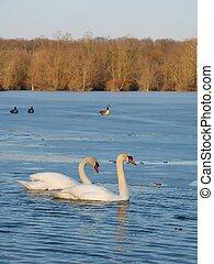 Mute Swan (Cygnus olor) - Illinois
