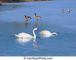 Mute Swan (Cygnus olor) Illinois