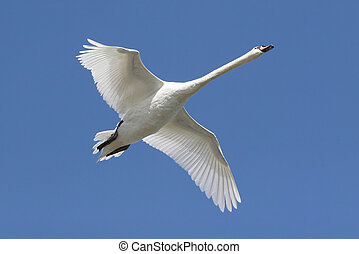 Mute Swan (Cygnus olor) In Flight with a blue sky background