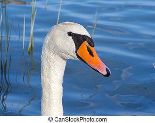 Mute swan (Cygnus olor) in Lake Balaton, Hungary