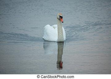 Mute swan (Cygnus olor) in the lake