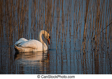 Mute swan (Cygnus olor) in the lake with reed