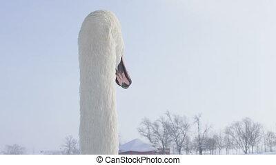 Mute Swan - Cygnus olor - Mute Swan (Cygnus olor) looking at...