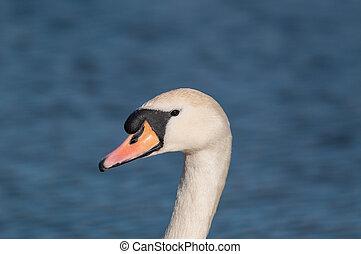 Mute Swan (Cygnus olor) on a pond
