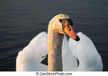 Mute swan (Cygnus olor) portrait close up