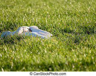 Mute swan, Cygnus olor resting in grass of polder Eempolder, Netherlands