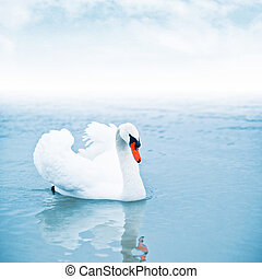Mute swan floating on water - Mute swan (Cygnus olor) ...