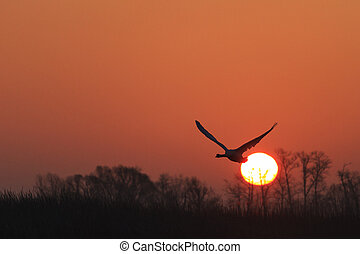 mute swan flying at sunrise over spring lake, great white bird, wings, swan, spring migration