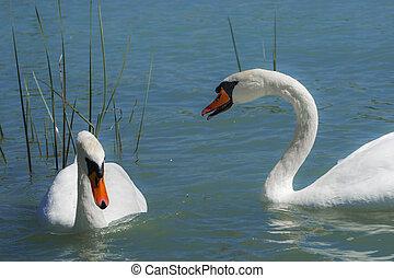 Mute swan in an European freshwater lake - Mute swan, its ...