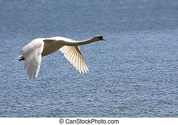 Mute Swan In Flight Over Water In Sun