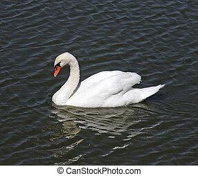 Mute Swan in Santa Barbara - Mute Swan (Cygnus olor) at ...