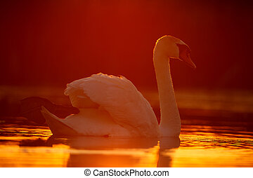 Mute swan in sunset
