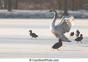 Mute Swan in the natural winter environment.